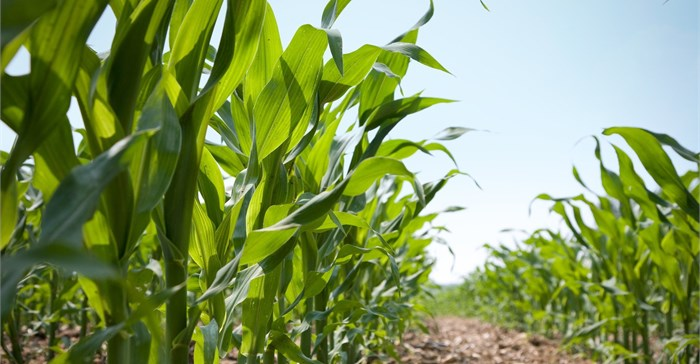 African Union crafts guidelines for GM crops, activists raise alarm